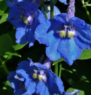 Delphinium 'Bellamosum' Image: HFN