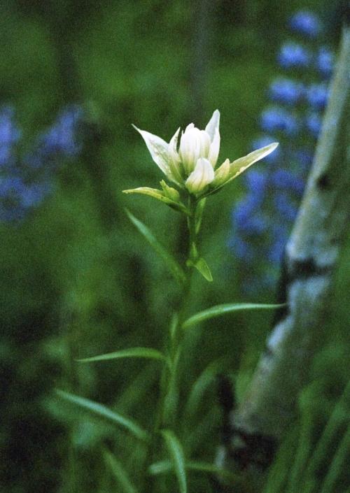 castilleja-sp-lupines-graham-crk-1990-bc-img072-3