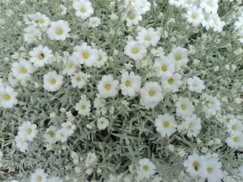Cerastium tomentosum. Image: HFN