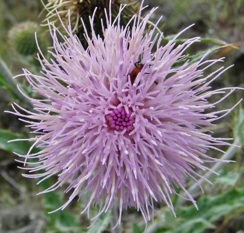 Cirsium undulatum - Wavy-Leaved Thistle