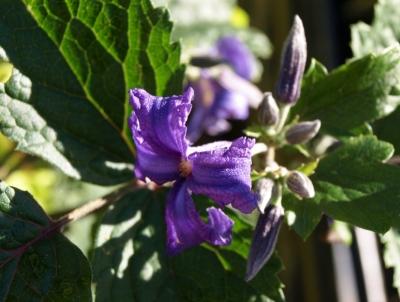 Clematis heraceifolia. Image: HFN