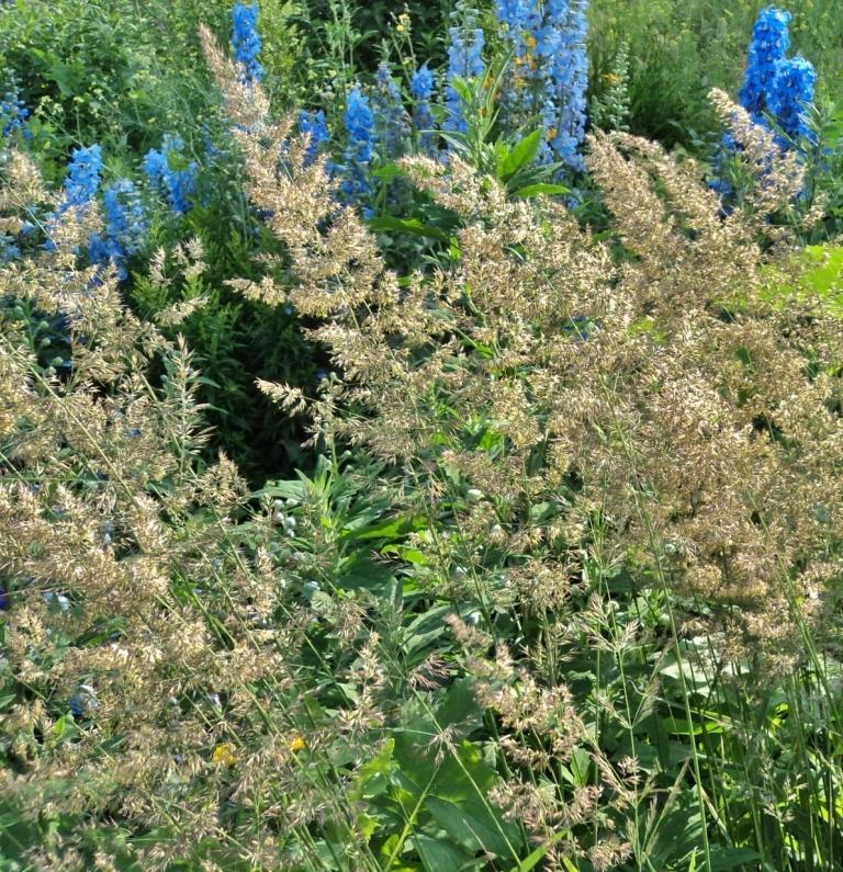 Deschampsia caespitosa - Hill Farm, July 2012
