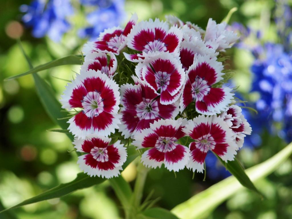 Dianthus barbatus - Sweet William 'Golborn Glory'. Image: HFN