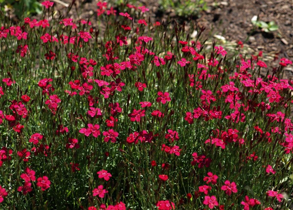 Dianthus deltoides - Maiden Pinks. Image: HFN
