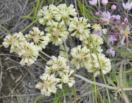 Eriogonum heracleoides var. angustifolium - Parsnip-Flowered Buckwheat. Image: HFN