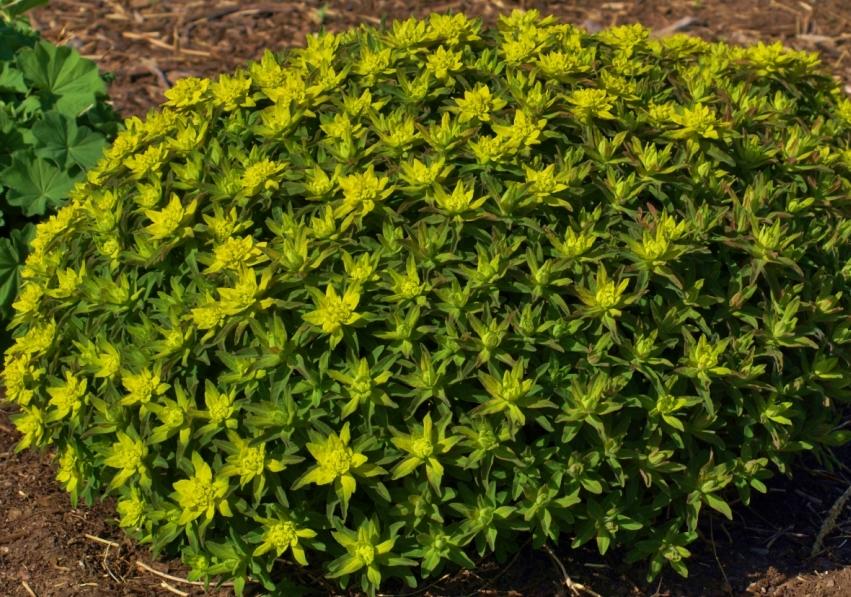 Euphorbia polychrome - UNBC, Prince George, May 18, 2014
