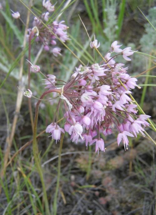 Allium cernuum - Nodding Onion. Image: HFN
