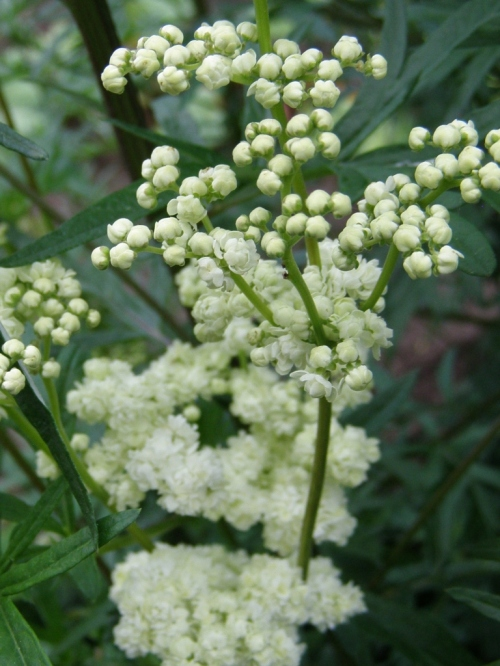 Double-Flowered Meadowsweet, Hill Farm 2011