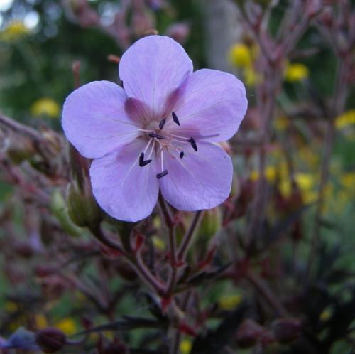 Geranium pratense - Meadow Geranium 'Purple Haze', ex 'Black Reiter'. Image: HFN
