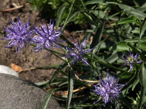 Phyteuma Image: HFN