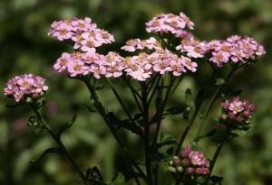 Achillea sibirica v. camtschatica - 'Love Parade' Siberian Yarrow. Image: HFN