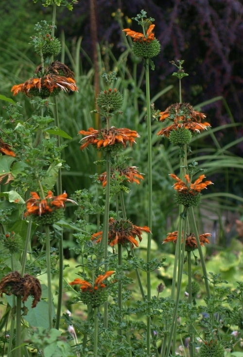 End-of-season colour still evident on this October-blooming Leonotis. Image: HFN