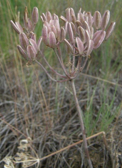 Lomatium macrocarpum - Large-fruited Desert Parsley