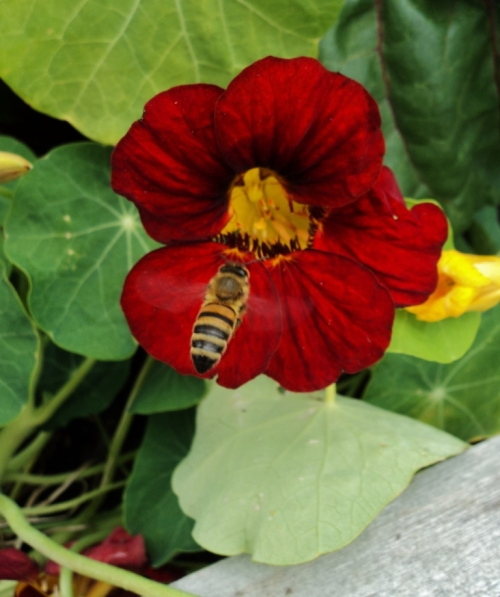 nasturtium honeybee potato house sept 2015