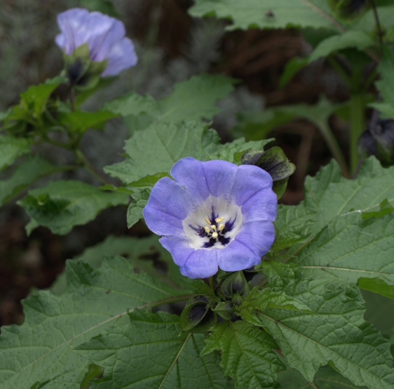Nicandra physalodes - Shoo-Fly Plant. Image: HFN