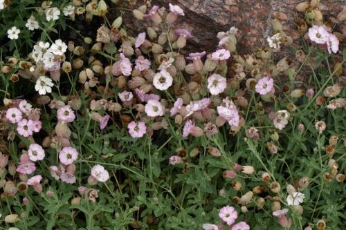 Silene uniflora 'compacta' - Image: HFN