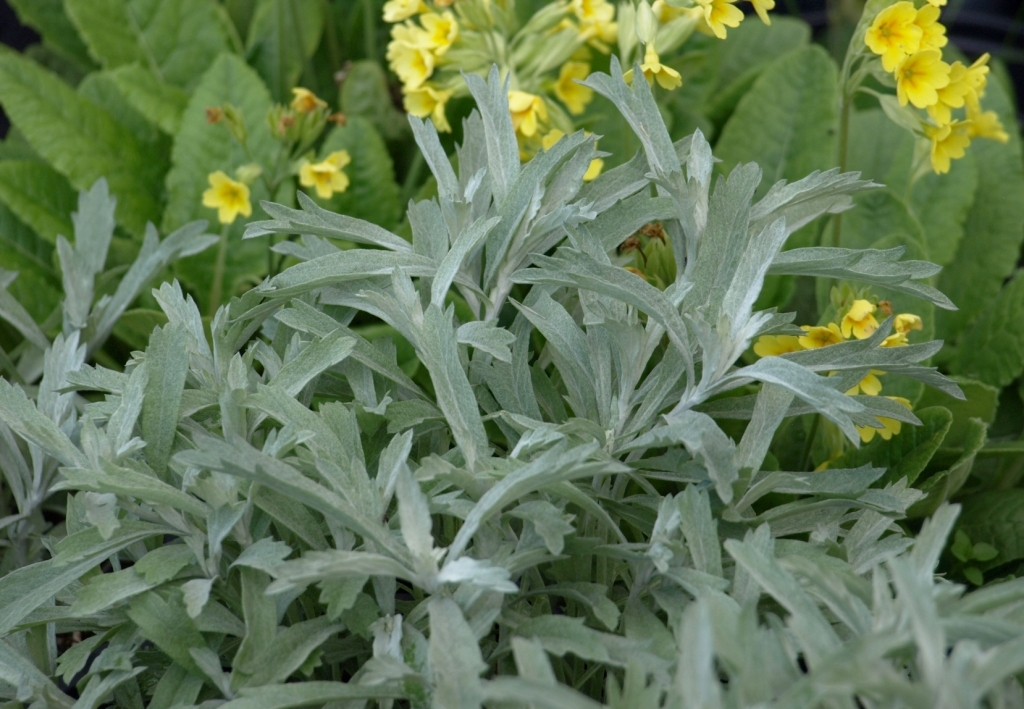 'Silver King' Artemisia - new spring growth with Primula in background. Image: HFN