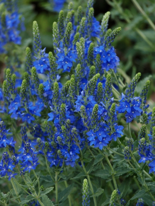 Veronica teucrium - 'Royal Blue' Veronica. Image: HFN