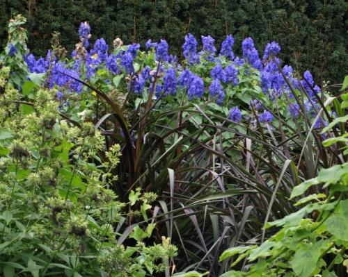 Aconitum carmichaelii 'arendsii' - Van Duen Garden, Vancouver, B.C. - October 2014. Image: HFN