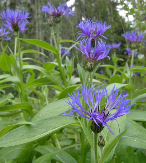 Perennial Cornflower blooming in late May, 2014 around the ruined foundation of an old ranch house near Roberts Lake.