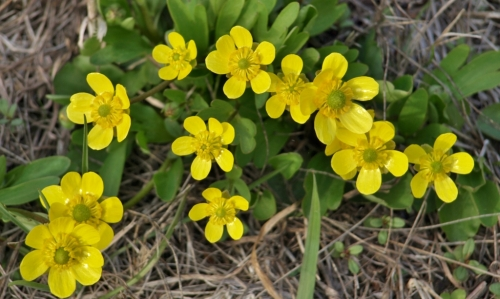 Spring's first flowers - Sagebrush Buttercups on the Hill Farm hillside, April 16, 2014.