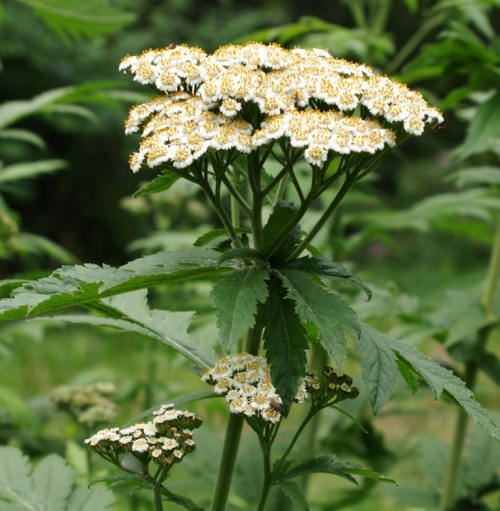Big-Leaf White Tansy at Hill Farm, July 2012.