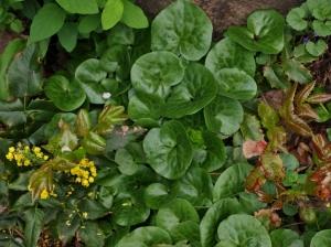 Asarum europaeum - Eueopean Wild Ginger. Image: HFN