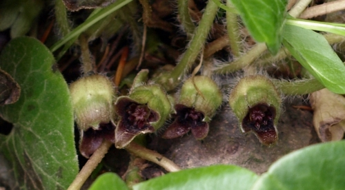 Close-up of Asarum europaeum flowers. Completely hidden under the foliage, these are pollinated by beetles and crawling insects.