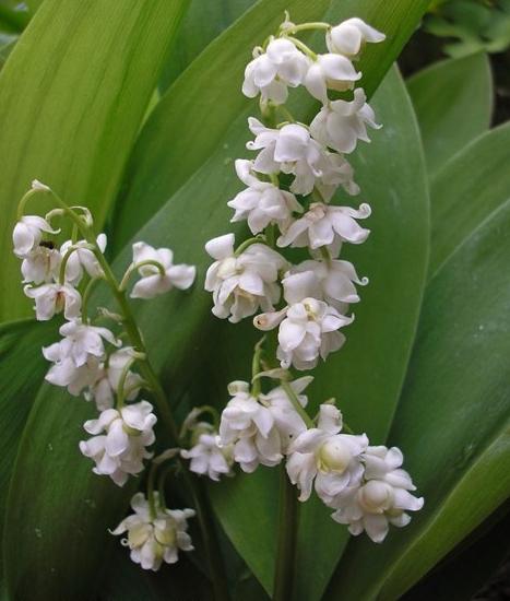 Convallaria majalis 'prolificans' - Photo