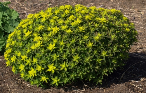 "The natural form of this plant is neatly globular, though it may occasionally ""birdsnest"" with summer thunderstorms. If this happens, a hard trim to within 6 inches or so of the crown will result in quick regrowth to tidy cushion shape."