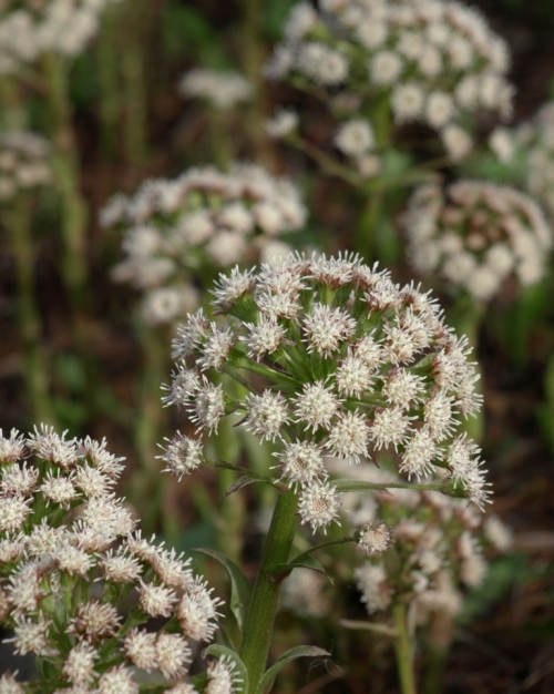 Palmate Coltsfoot - Petasites frigidus var. palmatus - Van Dusen Garden, Vancouver, B.C. - April 8, 2014.