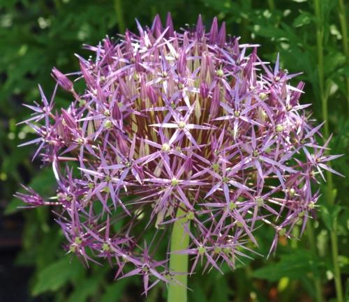 Star-of-Persia - Allium christophii - June 6, 2014