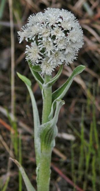 Bloom cluster of Petasites sagittatus, near Steinbach, Manitoba, May 5, 2007. (Photo by the late naturalist Eugene Reimer.)