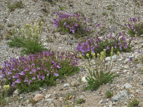 Growing in a roadside gravel pit, Highland Valley Copper Mine, Ashcroft, B.C. - June 8, 2014. A few miles west, the roadside display was even more spectacular - a veritable carpet of purple under the pine trees on both sides of the road.