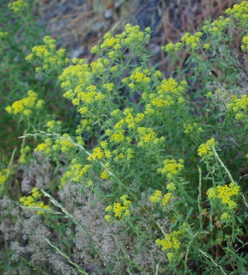The mystery plant, showing cloudy yellow blooms, silver seedpods and a sturdy, tufting habit. Obviously a survivor, as it was happily growing among grasses and on the steep and eroding hillside. Wildflower, or another garden escapee?