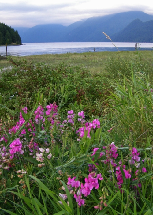 Lathyrus latifolius naturalized along the shoreline roadway at Pitt Lake, near Maple Ridge, B.C. August, 2011.