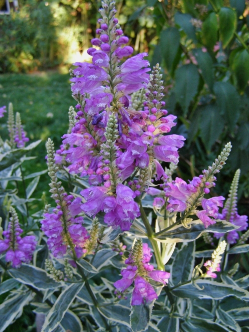 physostegia variegate fall 2011