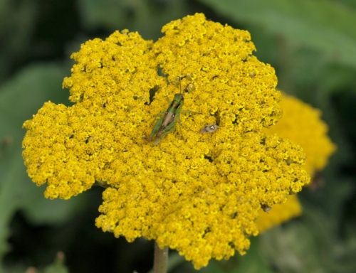 Close-up of the tightly packed flower head, with 6-legged visitors.