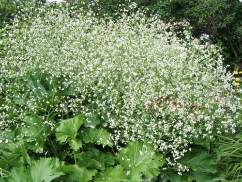 Giant Crambe - Crambe cordifolia - a Hill Farm plant growing in our good friend Ellen's Soda Creek, B.C. garden - July 2008. Image: HFN