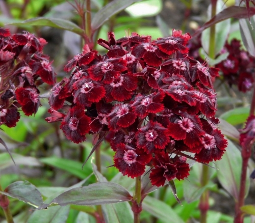 Dianthus barbatus nigrescens - Black Sweet William 'Sooty'. Image: Petr Dekanovsky