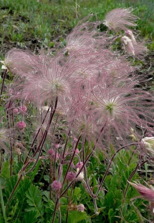 Geum triflorum seedheads - Colorado. Image: Charlie McDonald