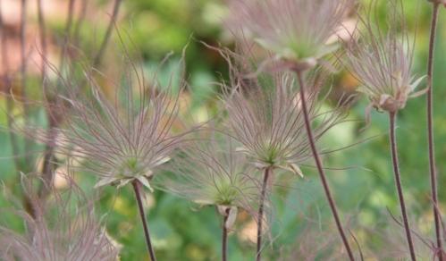 Seed heads - Geum triflorum - Toronto Botanical Garden.