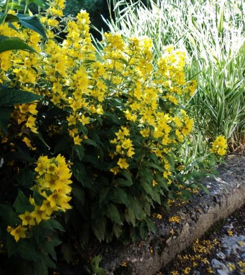 Lysimachia punctata and Ribbon Grass (Phalaris arundinaceae picta) - summer morning - Hill Farm - July 2012. Image: HFN