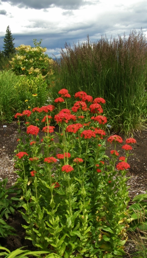 Lychnis chalcedonica in a contemporary garden setting, in te perennial border at the University of Northern British Columbia in Prince George, July 2013. Image: UFN