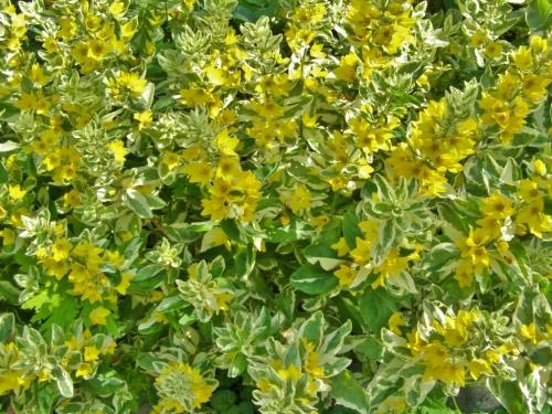 Lysimachia punctata 'Alexander'. Hill Farm, July 2013. Image: HFN