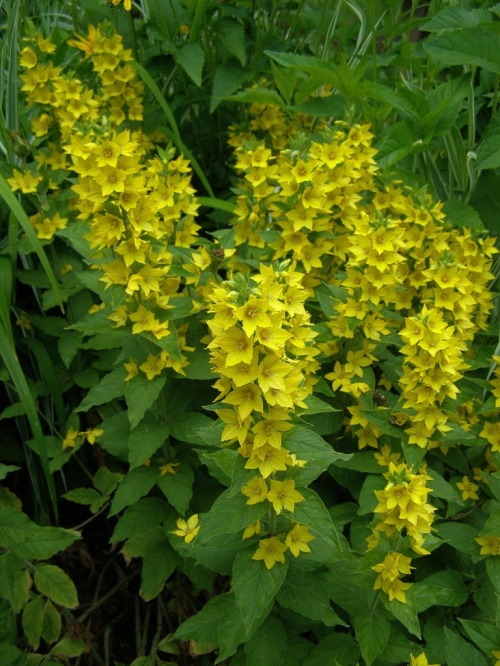 Lysimachia punctata - Dotted Loosestrife - July 2011 - Hill Farm. Image: HFN