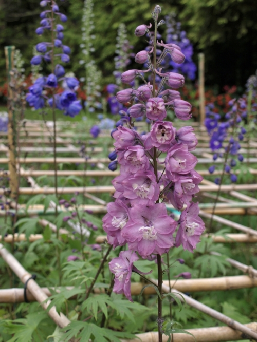 A plot of seedling 'New Millenium' Delphiniums at Van Dusen Garden in Vancouver, B.C. - October 2014. The young plants frequently put out bloom in the autumn of their first year, a teasing foretaste of the glories to come when they reach full maturity. Note the bamboo grid arrangement, for support of the heavy bloom stems. Image: HFN