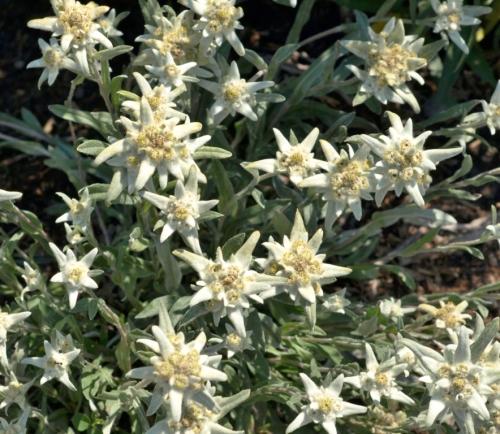 Leontopodium alpinum - Alpine Edelweiss - Williams Lake, July 2014. Image: HFN
