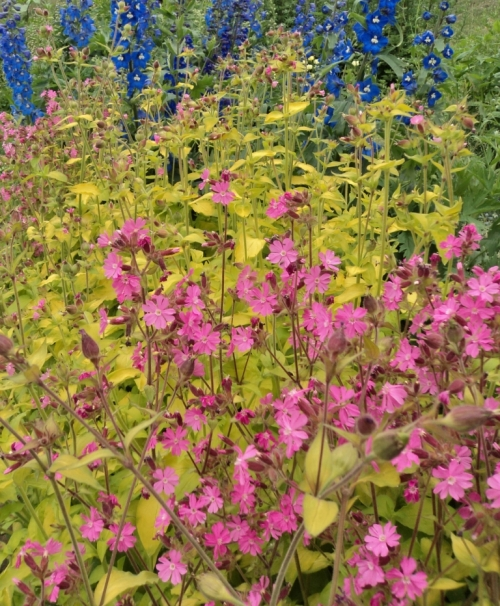Blooming at the same time as delphiniums, Ray's Golden Campion is a eye-catching contrast plant and makes a grand foreground companion to the cobalts, azures, and sky blues of its garden neighbour. Hill Farm, July 2012.