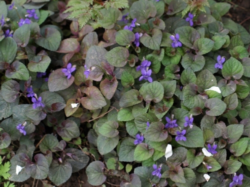 """Viola labradorica purpurea (?) - """"Labrador Violet"""" - May 2014, Hill Farm. Image: HFN"""